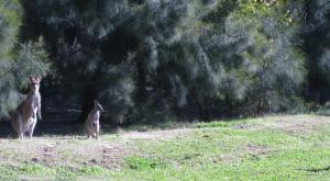 Kangaroos Outside Our Rental Villa, Pokolbin, NSW