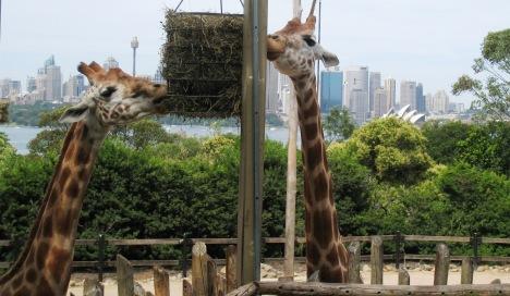 Giraffes and Sydney Opera House