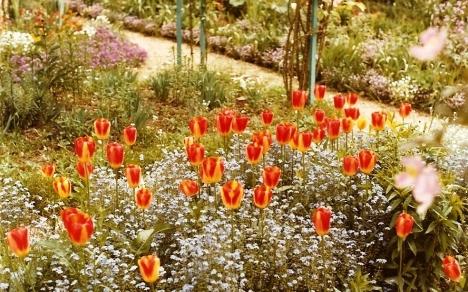 Tulips, Clos Normand, Monet's Garden, Giverny, France