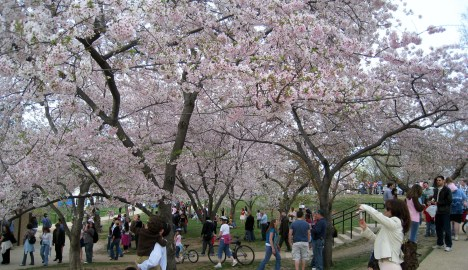 Cherry Blossoms, Washington, D.C.