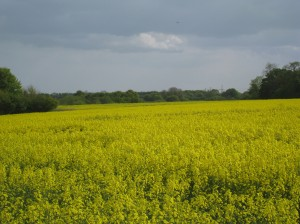 Field of Gold, Suffolk, England