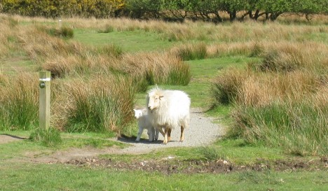 Sharing the footpath with sheep