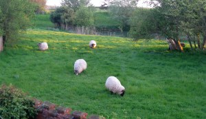Sheep in the Evening, Falkenham, Suffolk