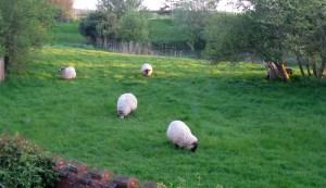 Sheep in the Evening, Falkenham, Suffolk