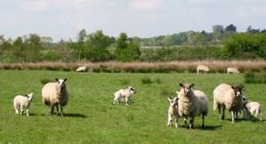 Mothers and Babies near Martlesham, Suffolk