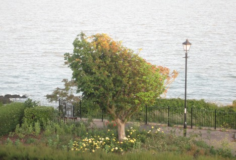 Tree by the sea, 25 June 2015