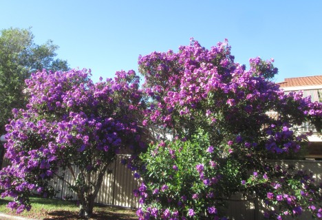 Tibouchina trees by our hotel